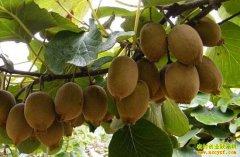 四川泸州邓向友种植猕猴桃奔上致富路