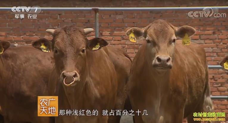 [农广天地]河南郏县红牛养殖技术视频 20180911