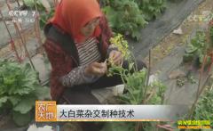 [农广天地]大白菜杂交制种技术视频