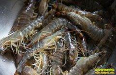 养殖基围虾赚钱吗?基围虾养殖前景分析