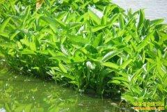 四川岳池县杨中银水上培育蔬菜苗 苗好销路俏