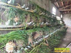 贵州开阳县农村青周林返乡创业养殖灰毛兔