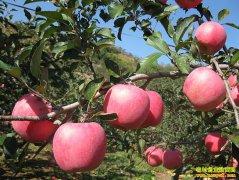 双节拉动苹果价格走高 果农无需着急出售