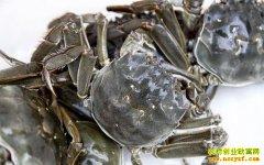 今年阳澄湖大闸蟹质量好、规格大 预估价格低开高走