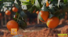 [农广天地]沃柑高产栽培技术视频