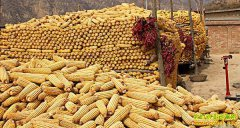 玉米即将开卖,各种玉米销售骗术频现农村,当心上当!