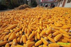 秋粮上市在即 今年秋粮收购都有哪些新政策?