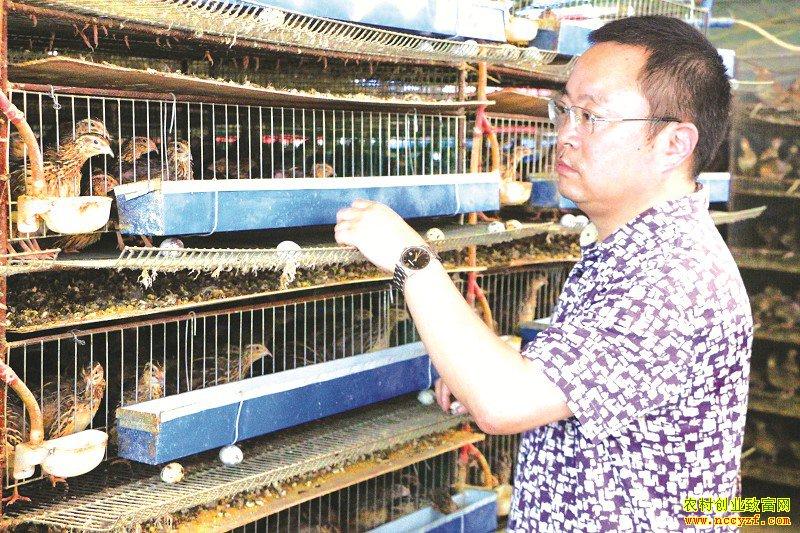 四川眉山陈豫川抓住商机养殖小鹌鹑做成大产业