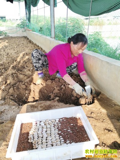 湖北京山种龟大王盛常斌专业养龟20年
