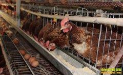 山东高唐县崔在强养殖蛋鸡年入20多万元