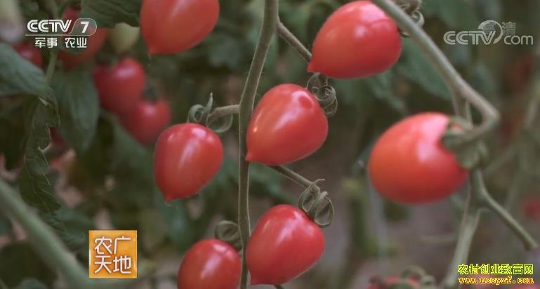 [农广天地]樱桃番茄大棚栽培技术 20181015
