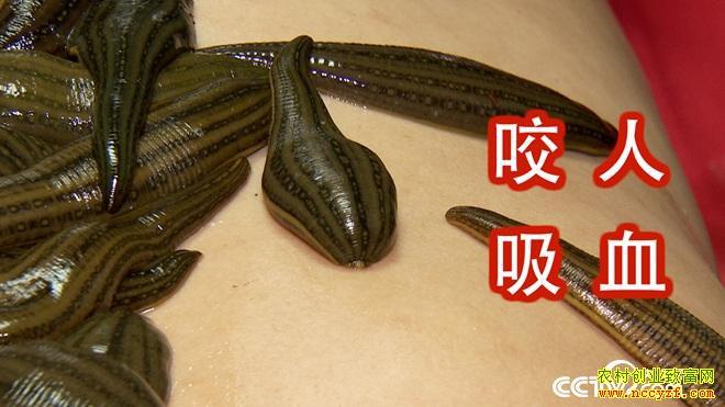 [致富经]江苏苏州周伟民养水蛭年赚500万