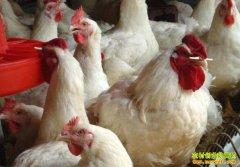 今年养鸡赚钱吗?2019年肉鸡鸡蛋价格行情走势预测