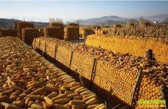 玉米价格看涨未来可期 农户仍有观望情绪
