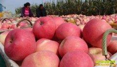 苹果减产价格大涨 未来苹果价格行情走势怎样?