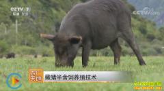 [农广天地]藏猪半舍饲养殖技术视频