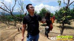 [致富经]广西兴安县胡韬奇招养笨鸡赚来上千万