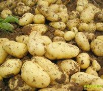 土豆产量降两成 库存量降三成 今年土豆价格走势如何?