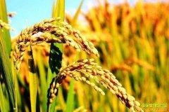 2018年新水稻价格总体低开 什么时间水稻价格能上涨?