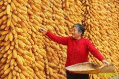 玉米价格小升 种植玉米收益仍低