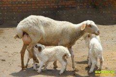 怎样提高母羊繁殖率?