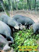 林下养猪 进城卖肉 浙江建德盛新禄的养猪致富经