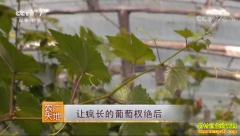[农广天地]让疯长的葡萄杈绝后 河南夏邑王飞种葡萄有高招