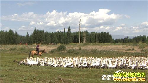[致富经]新疆赵全庄骑马放鹅 养殖新疆飞鹅让财富飞起来