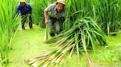 四川通江县黄浪茭白套养小龙虾 一举两得收益高