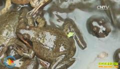[致富经]内蒙古扎兰屯朱志明养林蛙创造亿万财富