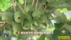 [致富经]辽宁丹东张春萍种植软枣猕猴桃年赚百万