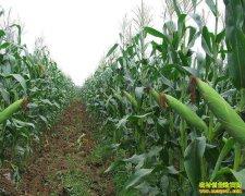 种植玉米补贴大幅下降 2019年玉米种植面积或减少