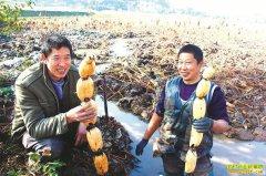 四季都有鲜藕卖 四川泸州莲藕大王傅定才种植莲藕赚欢了