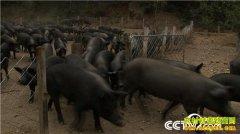 [致富经]河南栾川90后姐妹花怪招养黑猪 一头多卖2000多元