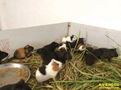 野味、皮毛、观赏三位一体!湖北江陵县许涛养殖豚鼠获得高收益!