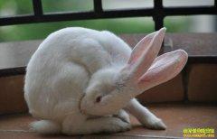 饲养家兔什么时间摸胎,如何摸胎?