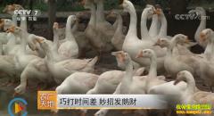 [农广天地]江苏常州陈效鹏巧打时间差妙招养鹅发鹅财