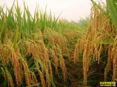 2018年安徽水稻价格:粳稻价格虽下调 收益仍比籼稻好