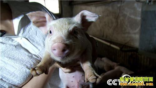 美女老师快乐养猪 一头多卖3000多元