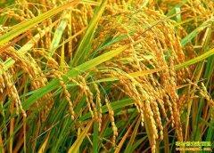 预计春节前稻米价格稳中趋升 专家建议因地制宜选育优质稻
