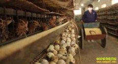 鹌鹑养殖成本投入不大饲养简单 返乡创业不妨试试养鹌鹑