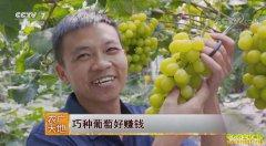 [农广天地]广西新安县肖卷忠巧种葡萄好赚钱