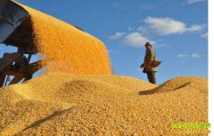 市场收购唱主角优质小麦价格更高