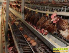陕西铜川养鸡能手王满良养蛋鸡年入十多万