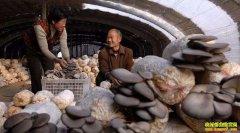 甘肃庆阳农民刘光奎大棚种蘑菇撑起致富伞