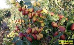 新疆且末县曾祥浩种植有机大枣一年增收七八万元