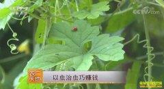 [农广天地]北京小汤山齐春辉以虫治虫巧赚钱