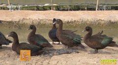 [农广天地]江苏盐城兴隆村鸭司令陈立存返乡创业养黑鸭