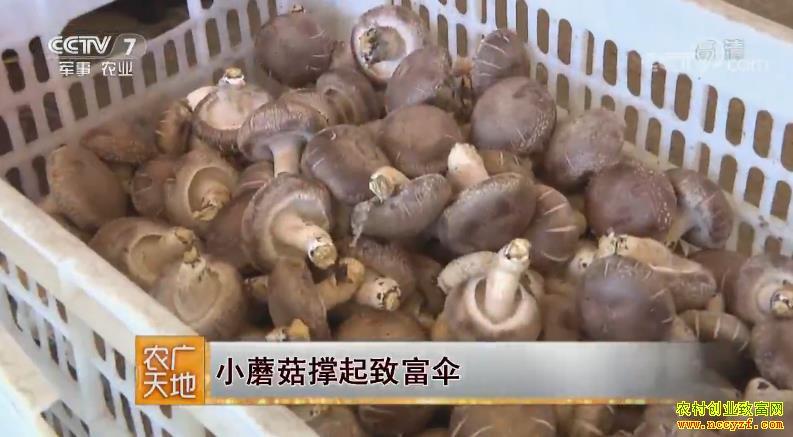 [农广天地]河北平泉市聂志生种植香菇撑起致富伞