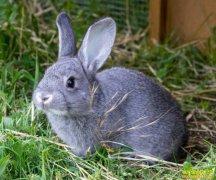 贵州开阳县周林返乡创业养殖灰毛兔带动农民致富